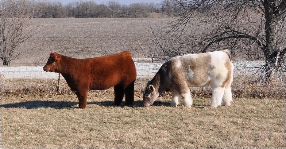 Различные породы коров