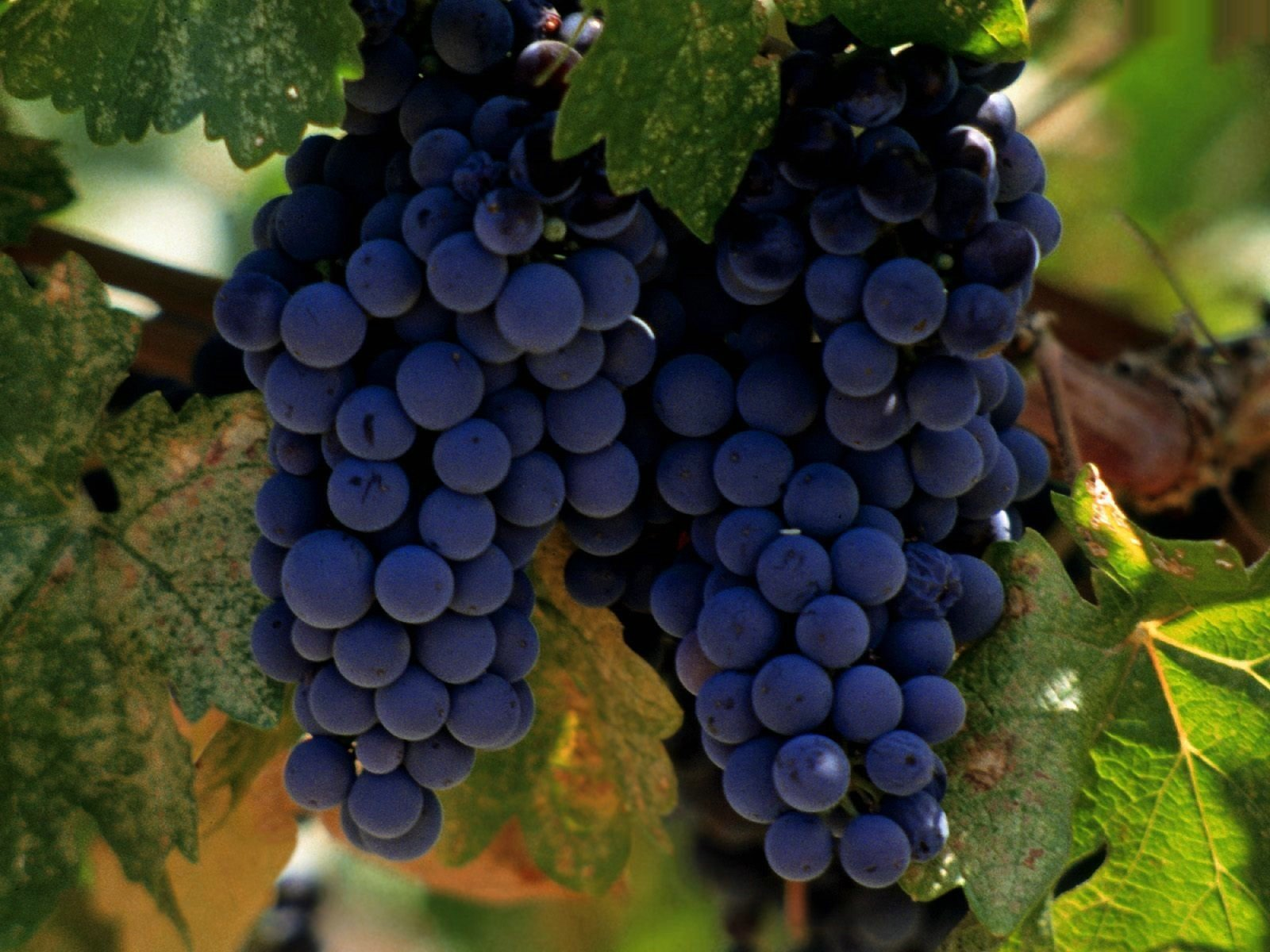 Выращивание винограда в домашних условиях