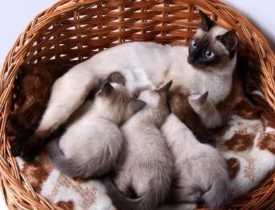 Размножение и разведение кошек