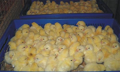 Разведение цыплят бройлеров