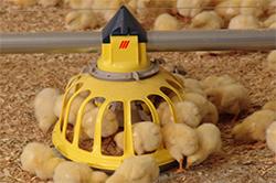 Кормление цыплят бройлеров