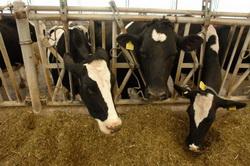 Разведение крупного рогатого скота