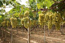 Итальянский виноградник