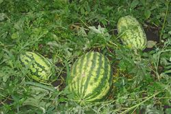 Выращивание арбузов