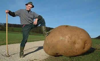 Выращивание картофеля.