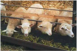 Кормление овец в загоне