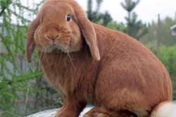 Кролик мясной породы баран