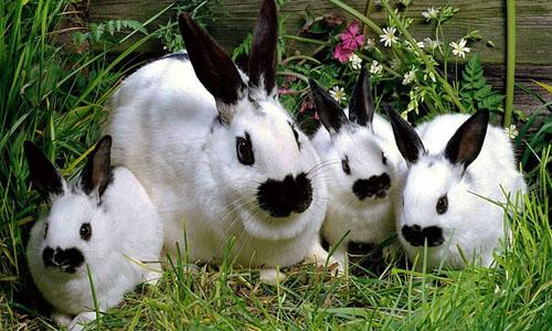 Кролики мясной пушной породы бабочка