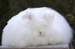 Кролик пуховой породы ангорский