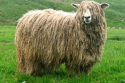 Овца полугрубошерстной породы линкольн