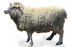 Овца тонкорунной породы прекос