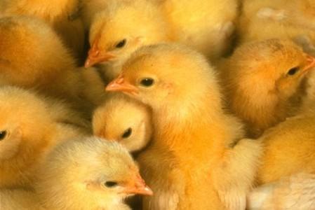 Закупка молодняка птиц, для птицефермы