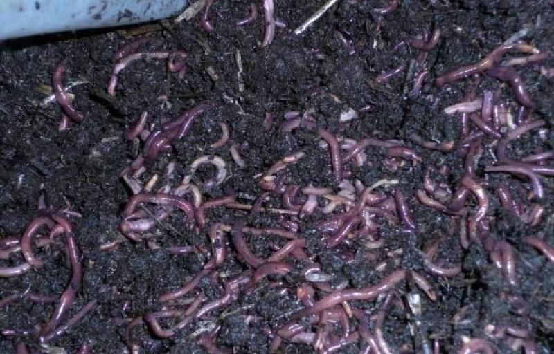 Разведение червей как один из способов заработка