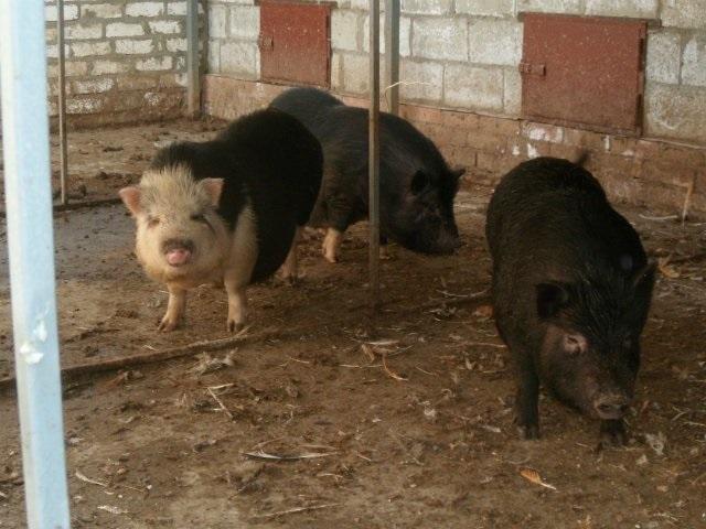 Отдельное содержание племенных хряков вислобрюхих свиней