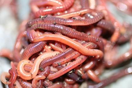 Красные калифорнийские черви способны перерабатывать любую органику