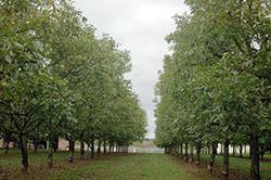 Сад грецких орехов