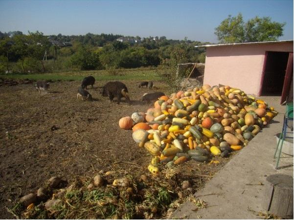 Тыква и кормовая свекла для кормления вислобрюхих свиней