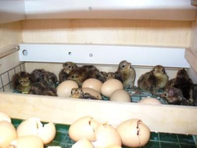 Птенцы фазана тоже пользуются спросом