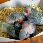 птенцы попугаев