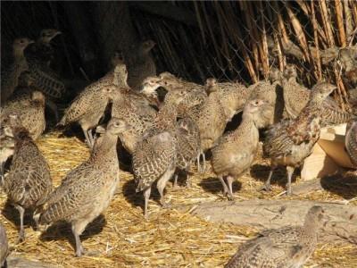 Разведение фазанов для продажи мяса и яиц