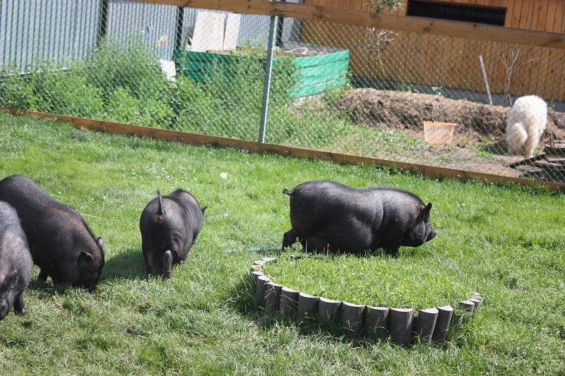 Как сделать свинарник для вислобрюхих свиней