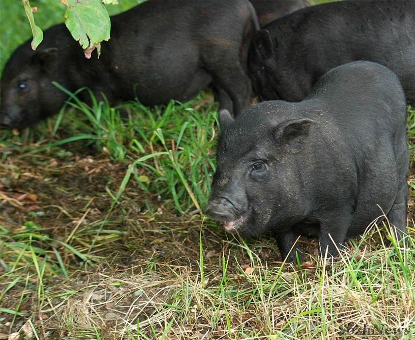 Откорм вислобрюхих свиней в летний период