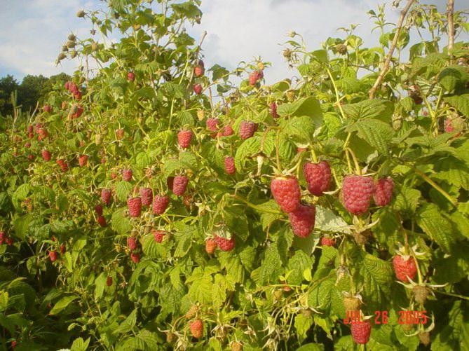 Бизнес на выращивании малины