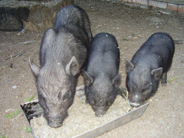 Кормление зимой вислобрюхих свиней