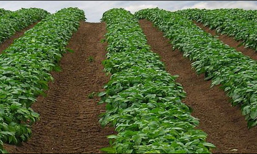 Картофельные поля