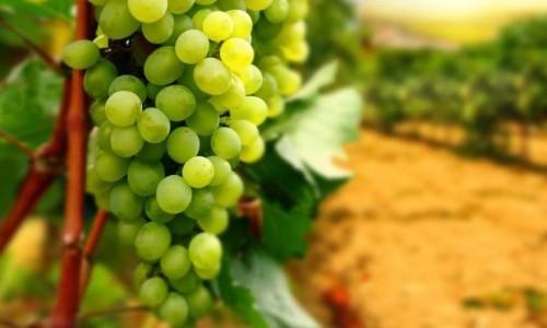 Виноградорство как приоритетное направление сельского хозяйства