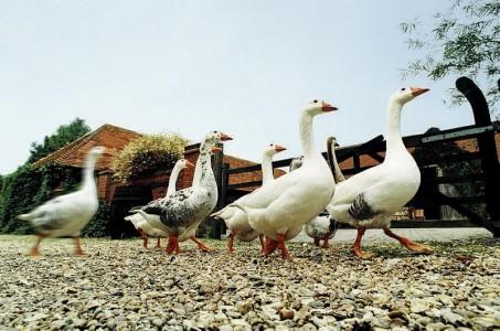 Изображение - Открываем домашнюю ферму farm-animals-453x300