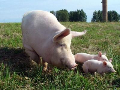 Изображение - Открываем домашнюю ферму farm-big-pig-400x300
