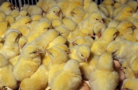 Изображение - Открываем домашнюю ферму farm-chiken-461x300