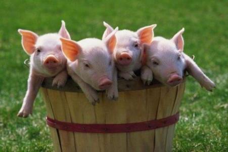 Изображение - Открываем домашнюю ферму farm-pigs-451x300
