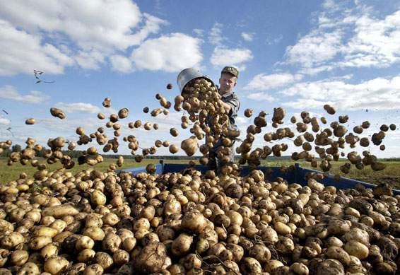 Бизнес план перепродажа картофеля гуси ферма бизнес план