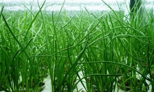 Зеленый лук гидропоника находят ли спайс в наркологии