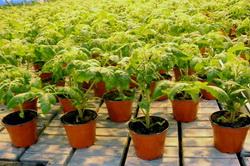 Изображение - Выращивание томатов как бизнес rassada-pomidor