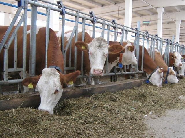 Бизнес план скотоводство бесплатно бизнес план фермы свиней