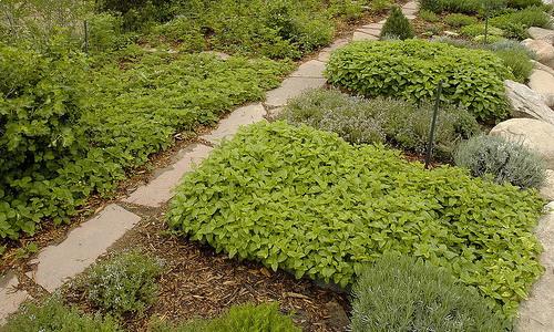 Выращивание лекарственных растений