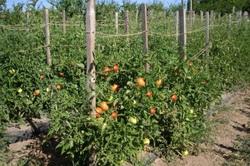 Изображение - Выращивание томатов как бизнес vyrashhivanie-pomidorov-v-otkritom-grunte