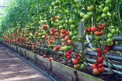 Изображение - Выращивание томатов как бизнес vyrashhivanie-pomidorov-v-teplice