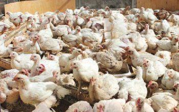 Бизнес план выращивание цыплят солодовня бизнес план